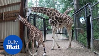 Cute baby giraffe with wonky legs learns to take first steps