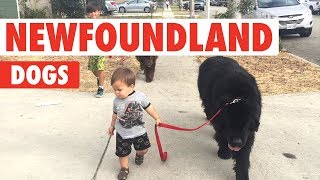 Newfoundland Dogs Compilation | Breed All About It