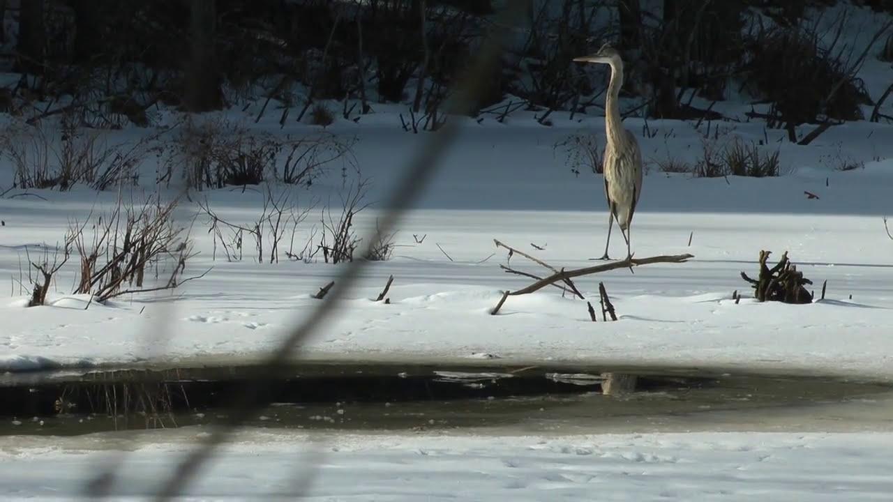 Great Blue Heron Snow Fishing