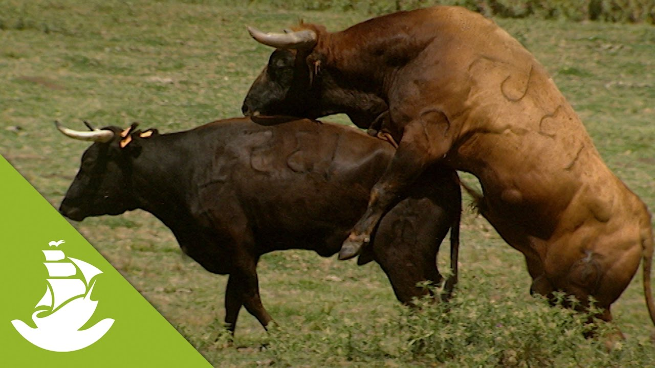The bull\'s role in the reproductive process - YouTube