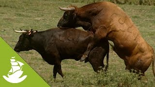 The bull&#39s role in the reproductive process