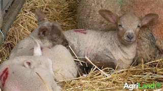 How-to carry out good hygiene practices in the lambing shed