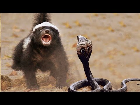 Видео: Медоед в деле! Против Льва, Леопарда, Гиены, Гадюки!