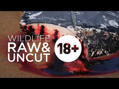 Dead whale disposal is a gruesome affair
