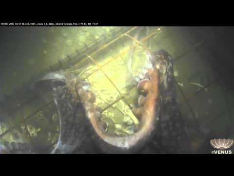 Giant Pacific Octopus (Enteroctopus dofleini) appears at forensic research site