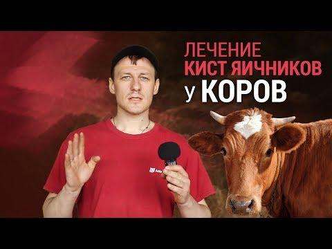 Лечение кист яичников у коров
