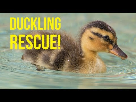 RESCUING BABY DUCKS | Oshies World