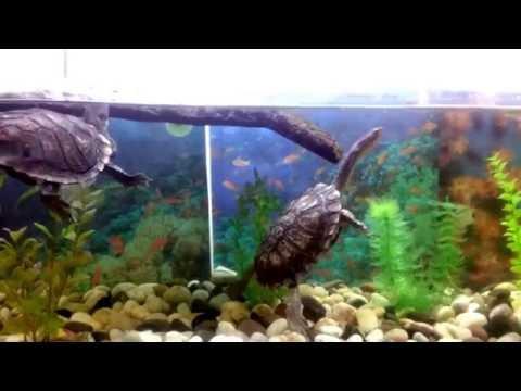 Long Neck Turtles