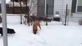 1 Year German Shepherd Mastiff Mix And 1 Year Old  Rottweil