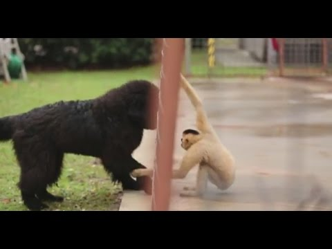Newfoundland pup plays with rescued gibbon