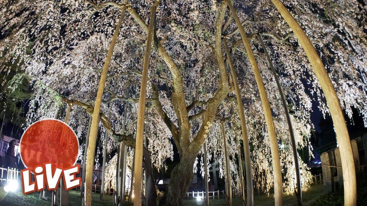 370 Year Old Gigantic Sakura Tree ☆ LIVE #13