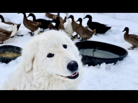 Toby, the Dog that Guards Ducks