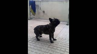 French bulldog is trying to catch the rain