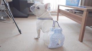 犬用の市販のおむつだとすぐにズレ落ちてしまうので、サスペンダーとち...