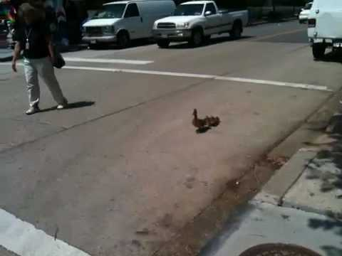Mother duck and ducklings cross Constitution Ave