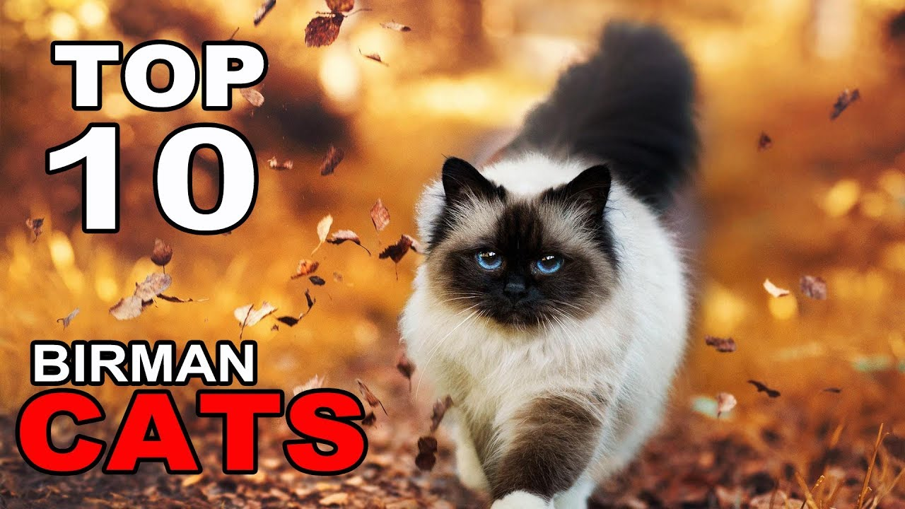 cats 101 birman Petlovergian ve