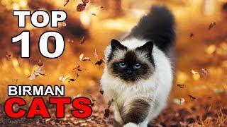 TOP 10 BIRMAN CATS BREEDS