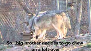8 Month Old Mexican Gray Wolves
