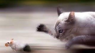 Fight Cat VS Mouse, mouse kills the cat, funny Cat