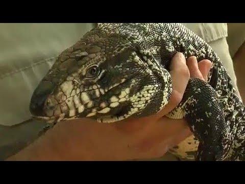 Invasive tegu lizard spotted in southwest Miami-Dade