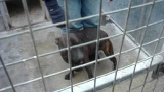Billy - Staffordshire Bull Terrier Avaliable For Adoption