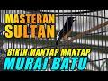 Masteran Sultan Yang Jadikan Murai Batu Mantap Mantap  Mp3 - Mp4 Download