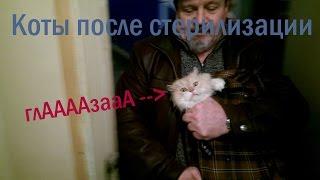 коты после стерилизации папа мама и глазаааа кота