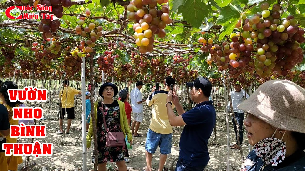 Đây Là Lý Do Bạn Nên Tham Quan Vườn Nho Khi Du Lịch Bình Thuận | CSMT