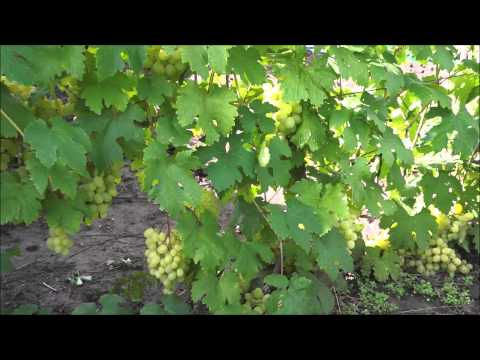 Виноград сорт Кеша (август)