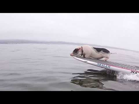 PIG AND DOG SURFING DUO - Pickles the Pig Goes Surfing!