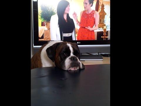 Boxer dog Archie gets impatient!