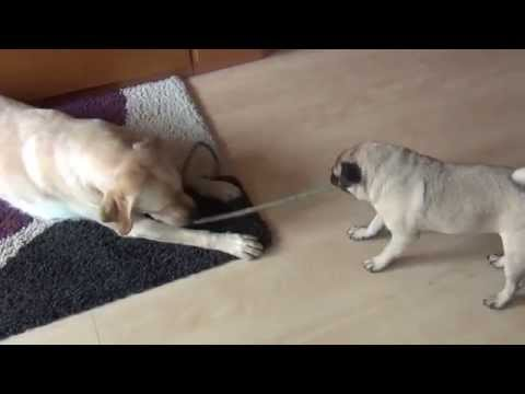 Pug vs. Labrador