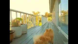 Cuttest Pomeranian Attitude (happy Blaze)