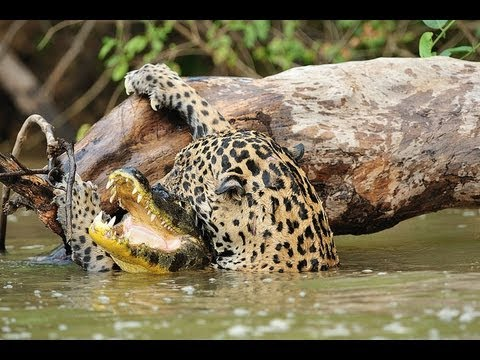 Jaguar Vs Crocodile Youtube