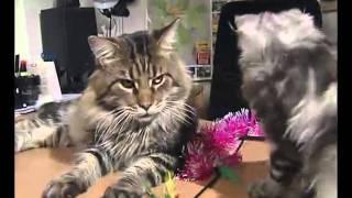 Фильм о мейн-кунах (maine coon cat) - самых больших кошках