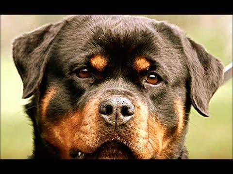 ¿Asesino? Rottweiler Y Su Temperamento | JuanesRFC_DogsTV