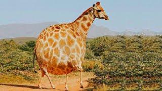 Если бы вдруг все животные стали круглыми и квадратными