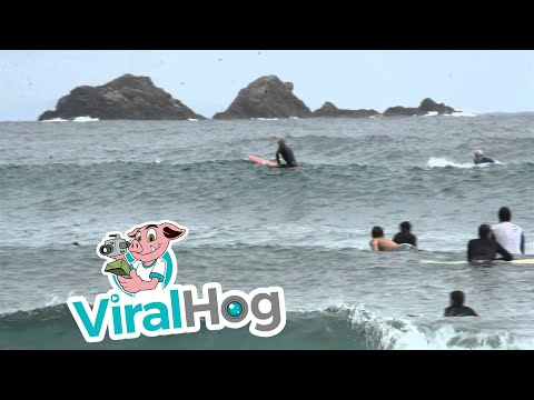 Spectacular Dolphin Surfing at Byron Bay || ViralHog