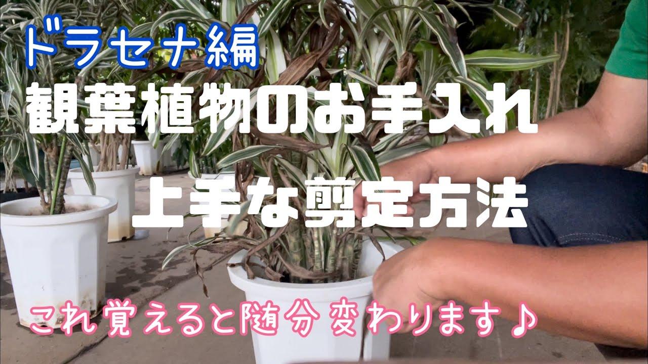 [お手入れ]観葉植物の上手な剪定方法[ドラセナ編]