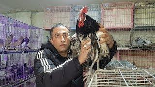 موسم الدجاج البلدي مع جمال العمواسي