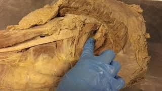 видео Нервы нижней конечности