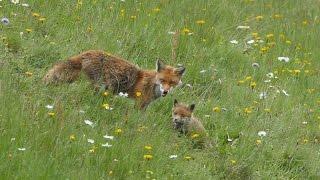 les renards dans la prairie une prairie classée natura 2000 est fauchée tardivement. Une famille de renards s'y est établie, surveillée de près par les pie-grièche écorcheurs . Jeux des renardeaux, allaitement et apport de proie par le mâle.