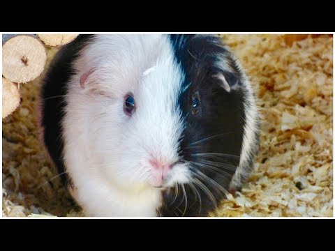 Signs Your Guinea Pig Likes You