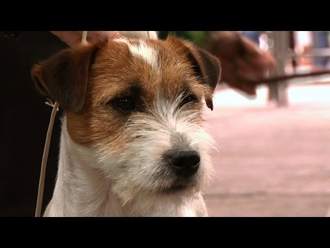 Thumbnail: Jack Russell Terrier - Best Dog - National Terrier 2016