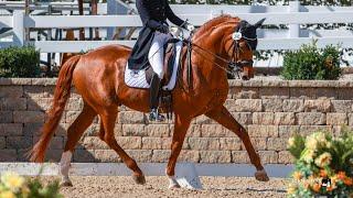 Bingotti Hanoverian Stallion Licensing (Long)