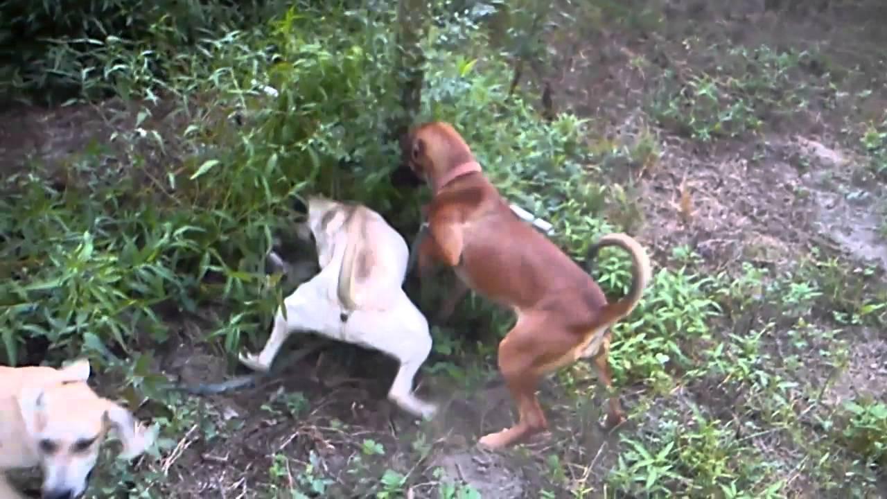 Original Ladner Black Mouth Cur Pups Youtube