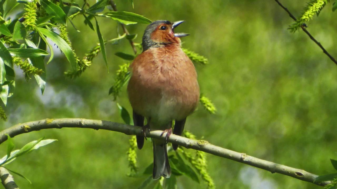Welcher Vogel Singt