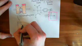 The Growth Factor Recptor and MAPK / ERK Pathway Part 1