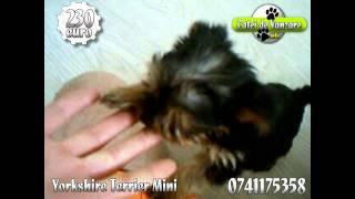 Yorkshire Terrier Mini De Vanzare 0741175358