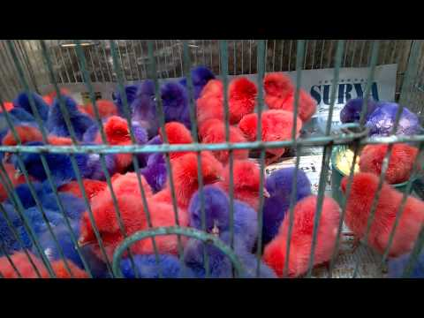 Animal Market in Batu, Indonesia 3 (coloured chicks)